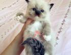 青岛哪里卖布偶猫较便宜多少钱一只 购买包健康多久