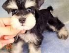 聪明伶俐极小雪纳瑞幼犬 品质保证健康 欢迎上门选购