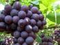 中秋吃葡萄 采摘葡萄 等茶山一日游|青岛周边一日游