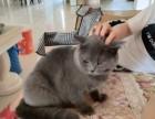 纯种英短蓝猫公低价出售
