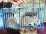 出售魔王松鼠,小松鼠非常机灵,小巧可爱的