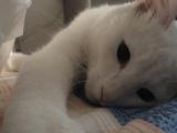 自家2岁可爱白色鸳鸯眼