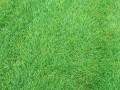 北京草坪花木种植中心供应房山 丰台 海淀 大兴园林绿化草坪