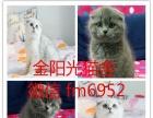 加菲猫活体 纯种幼猫 异国短毛猫家养宠物猫低价出售
