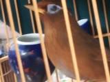 正宗凯里大红毛,齐毛,软毛,打鸟,叫鸟,