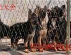 一只德国牧羊犬幼犬多少钱德牧图片德牧训练