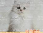 CFA 注册猫舍出售金吉拉弟弟妹妹都有 可上门