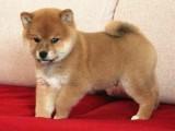 扬州哪有柴犬卖 扬州柴犬价格 扬州柴犬多少钱