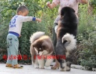 重庆哪里能买到家养纯种健康的阿拉斯加犬 重庆有卖阿拉斯加