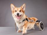 懷化泰迪幼犬出售 純種雙血統賽級品質