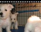 狗场优惠直销纯血统西高地白梗 纯种健康幼犬