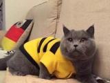 里有正規貓舍 藍貓養殖 藍貓幼貓轉讓