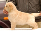 哪里有金毛,纯种大骨架金毛犬出售,包纯包健康