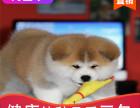 本地出售纯种秋田幼犬,十年信誉有保障