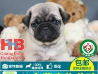 深圳哪里有卖巴哥犬 请问深圳巴哥犬多少钱一只