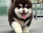 加微信看视频养不死才是王道 名牌基地直销阿拉斯加犬