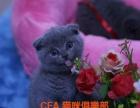 北京最大猫舍直销 加菲猫 蓝猫 折耳猫 包健康