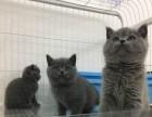 重庆买猫去哪里重庆买蓝猫重庆哪里有正规猫舍