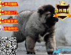 **巨型熊版高加索出售 纯种健康签协议有保障
