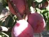 北方果树苗木
