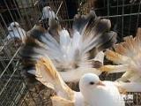 东营的花鸟市场在那个位置观赏鸽价格