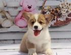 纯种柯基犬幼犬-双色三色均有-健康保障疫苗齐全