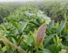 日照绿茶送货上门,自产自销。