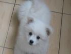 出售日本尖嘴纯种银狐幼犬血统正宗疫苗已做可上门挑