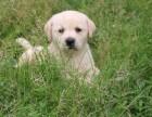 **拉布拉多犬 多年经营 口碑好 值得信赖 纯种健