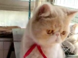 深圳家养加菲渐层蓝白英短猫转让