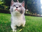 家养纯种猫,健康保证,英短 蓝猫蓝白 渐层,一千多
