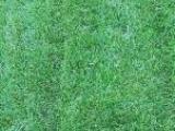 常年出售优质草坪自种自销绝无中间环节