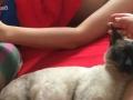 预售暹罗猫崽8月底预产期