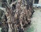 处理一批百年工艺枣树身子