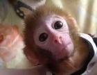 袖珍猴,最萌迷你猴,纯种石猴