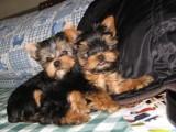 佛山哪有约克夏犬卖 佛山约克夏犬价格 佛山约克夏犬多少钱