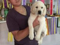 500起出售高品质双血拉布拉多幼犬,大骨量,看狗可送货