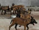 自家繁殖饲养的马犬出售 马犬价格