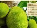 水果之母,菠萝蜜,批发零售