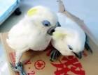 出售人工繁殖葵花鹦鹉 灰鹦鹉 亚马逊鹦鹉 折衷鹦鹉