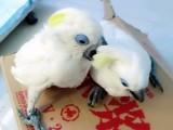 出售葵花鹦鹉 灰鹦鹉 亚马逊鹦鹉 折衷鹦鹉 大绯胸鹦鹉