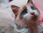 布偶猫 海豹 蓝双 海双 山猫 布偶猫幼猫(包纯种健康)