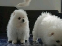 成都狗狗之家长期出售高品质 博美 售后无忧