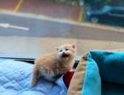 家养苏格兰折耳猫 苏折立耳公猫 英短宠物猫