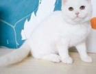 青岛哪里出售短毛猫 青岛短毛猫多少钱 青岛短毛猫哪家好