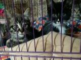 3個月虎斑小母貓