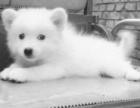 高贵美丽的尖嘴银狐犬~非常活泼可爱