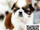 在哪里买纯种的西施幼犬 西施幼犬最低多少钱