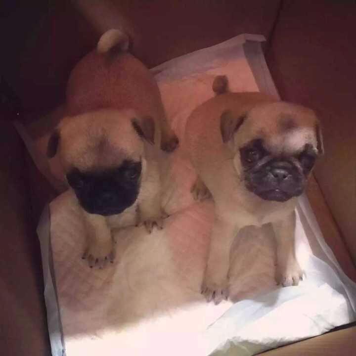长沙犬舍出售纯种巴哥 博美 萨摩耶 德国牧羊犬等二十个品种