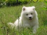 纯种 萨摩耶 幼犬出售 健康包三个月可签协议